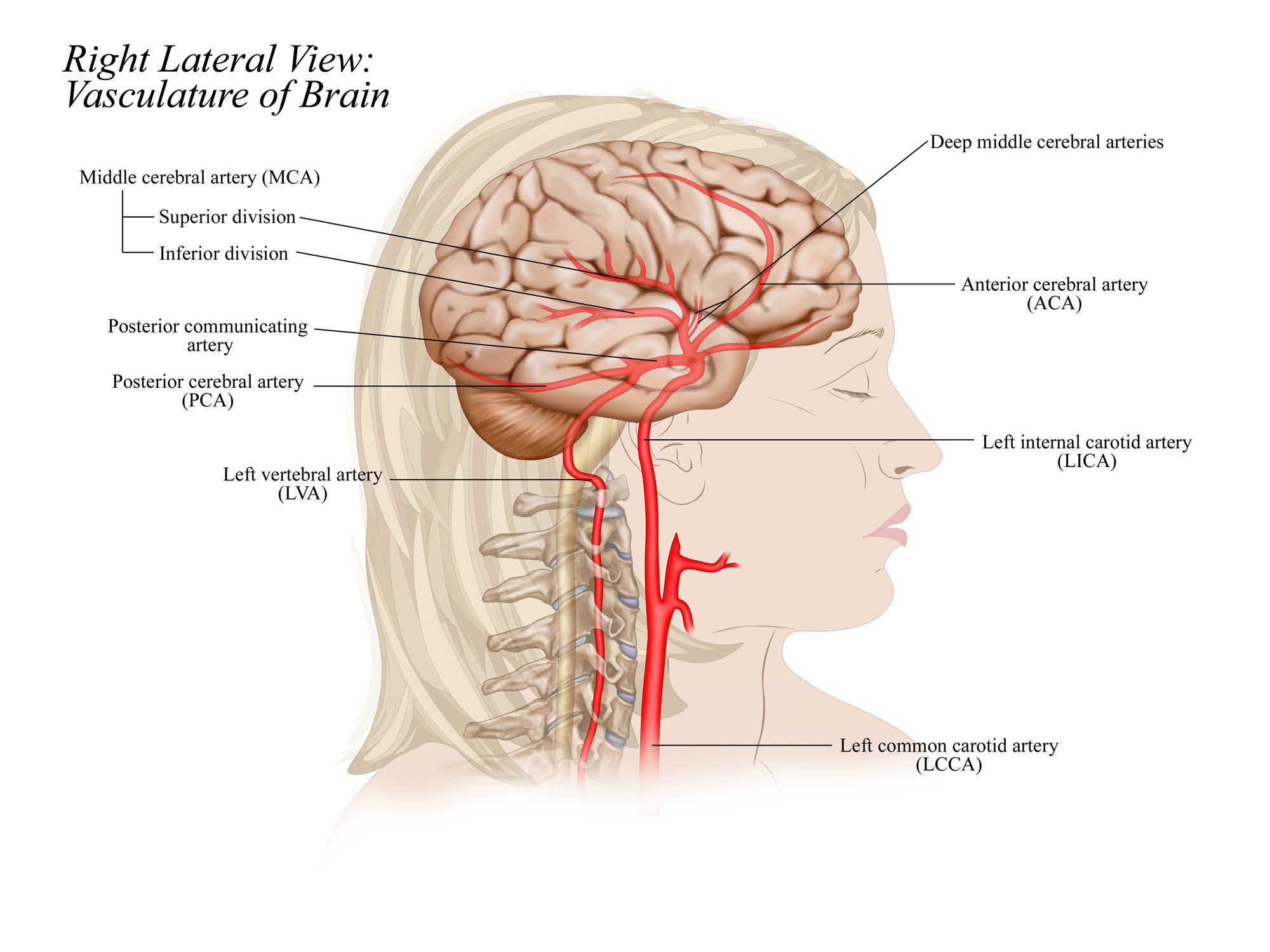 Vasculature of Brain