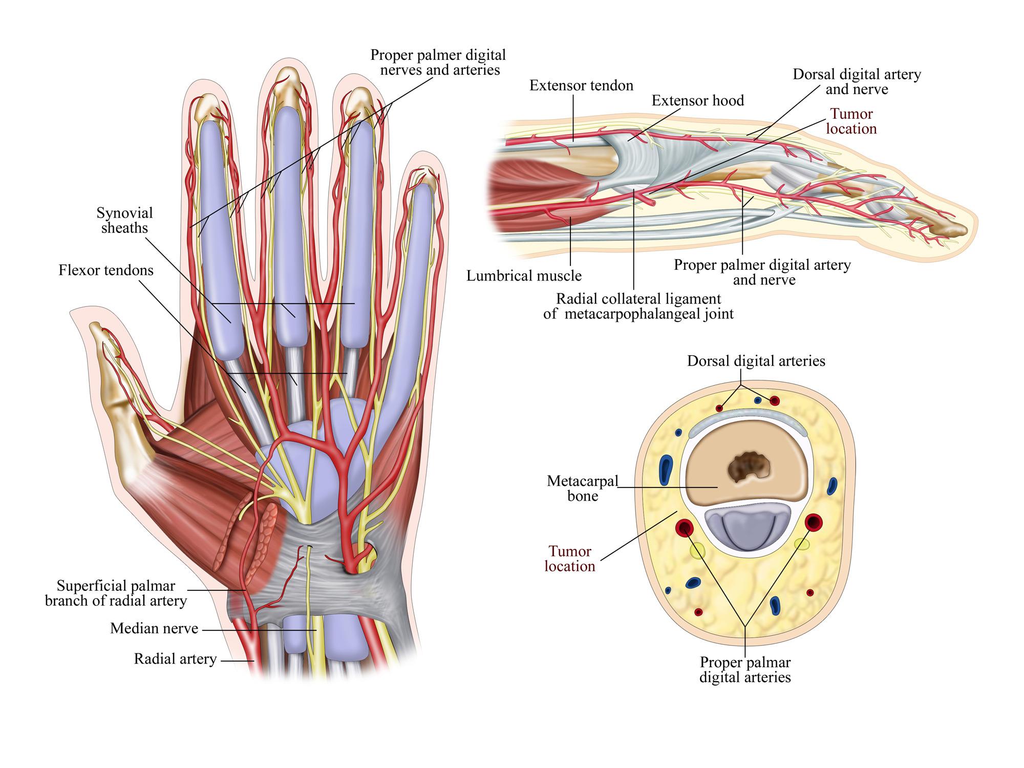 Hand and Finger Anatomy