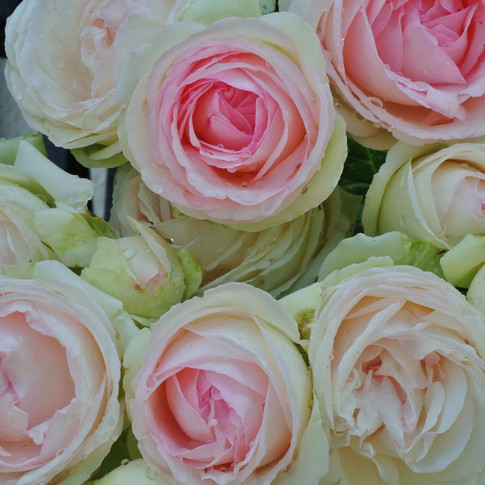 Roses entrée P Ronsard