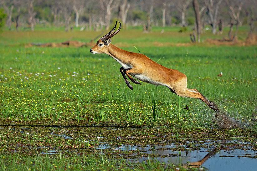 Red-Lechwe-Botswana-WimVorster.jpg