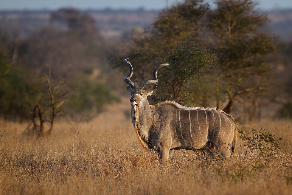 male-greater-kudu-uganda.jpg