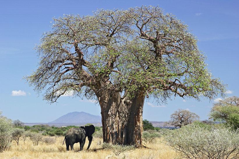 Baobab_and_elephant,_Tanzania.jpg