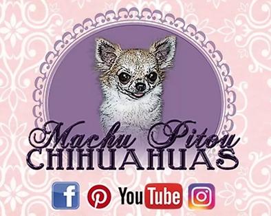 Machu Pitou Chihuahua