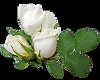 whiteroses.png
