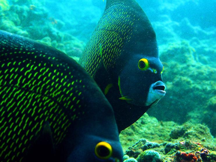 CRESpr.org Santurce's Reef Fishes .jpg.j