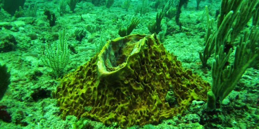 Xestospongia muta, giant barrel sponge growing on the reef