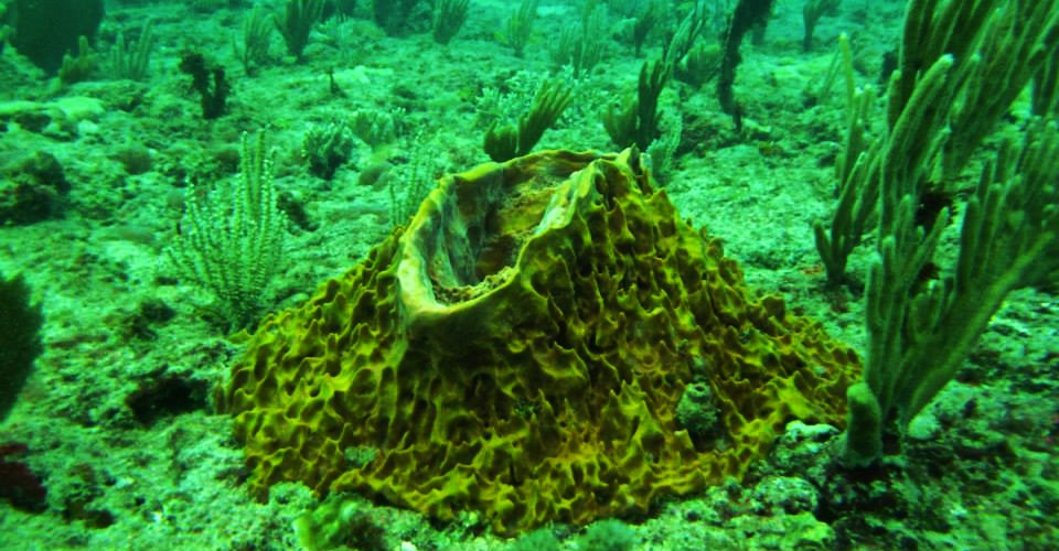 Xestospongia muta, giant barrel sponge growing on the reef