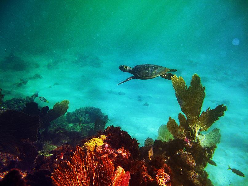 CRESpr.org Santurce's Reef Sea Turtle .j