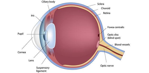 simple-anatomy-of-the-eye-paramedical-stuff-may-2015.jpg