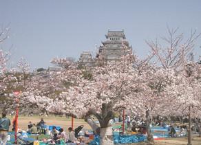 """Ohanami"" Tradisi melihat bunga sakura bermekaran di Jepang"
