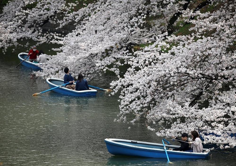 Bunga sakura di musim gugur
