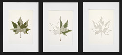 Plane Tree Leaves - A Triptych