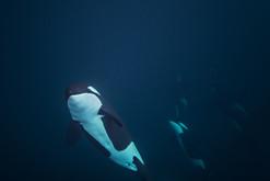 Orca - Ocean Portrait