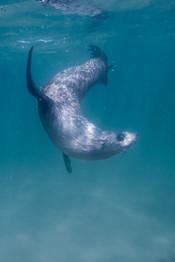 Fur Seal Dance