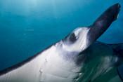 Manta eye - Ocean Portrait