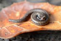 slander_salamander.jpg