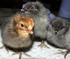 Black Rock Chickens