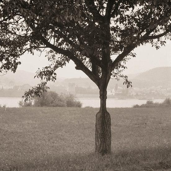 Picnic Tree