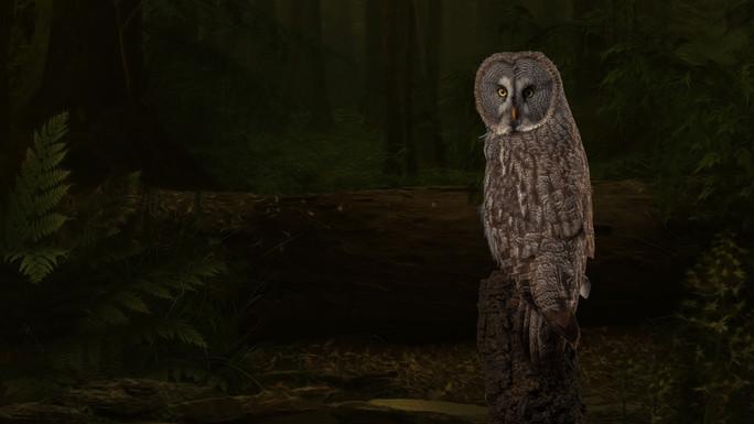 Great Grey Owl Woodland.jpg