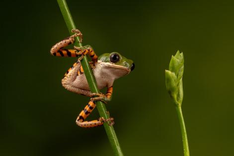 Tiger Legged Tree Frog.jpg