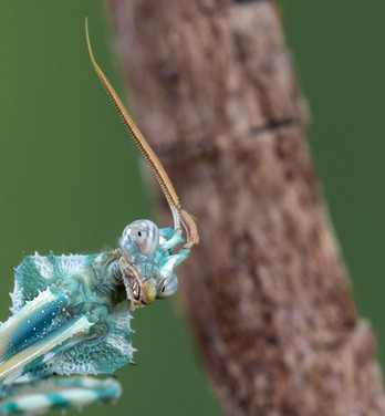 Devil Mantis.jpg