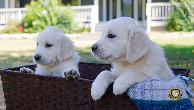 English Golden Retrievers Puppies Northern California