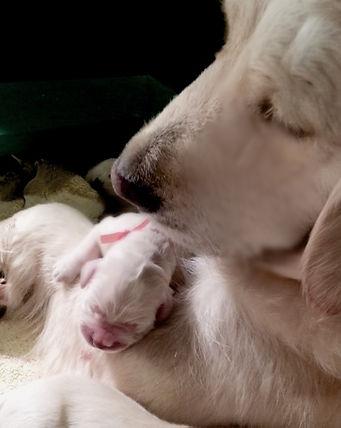 English Golden Retriever puppy and mom