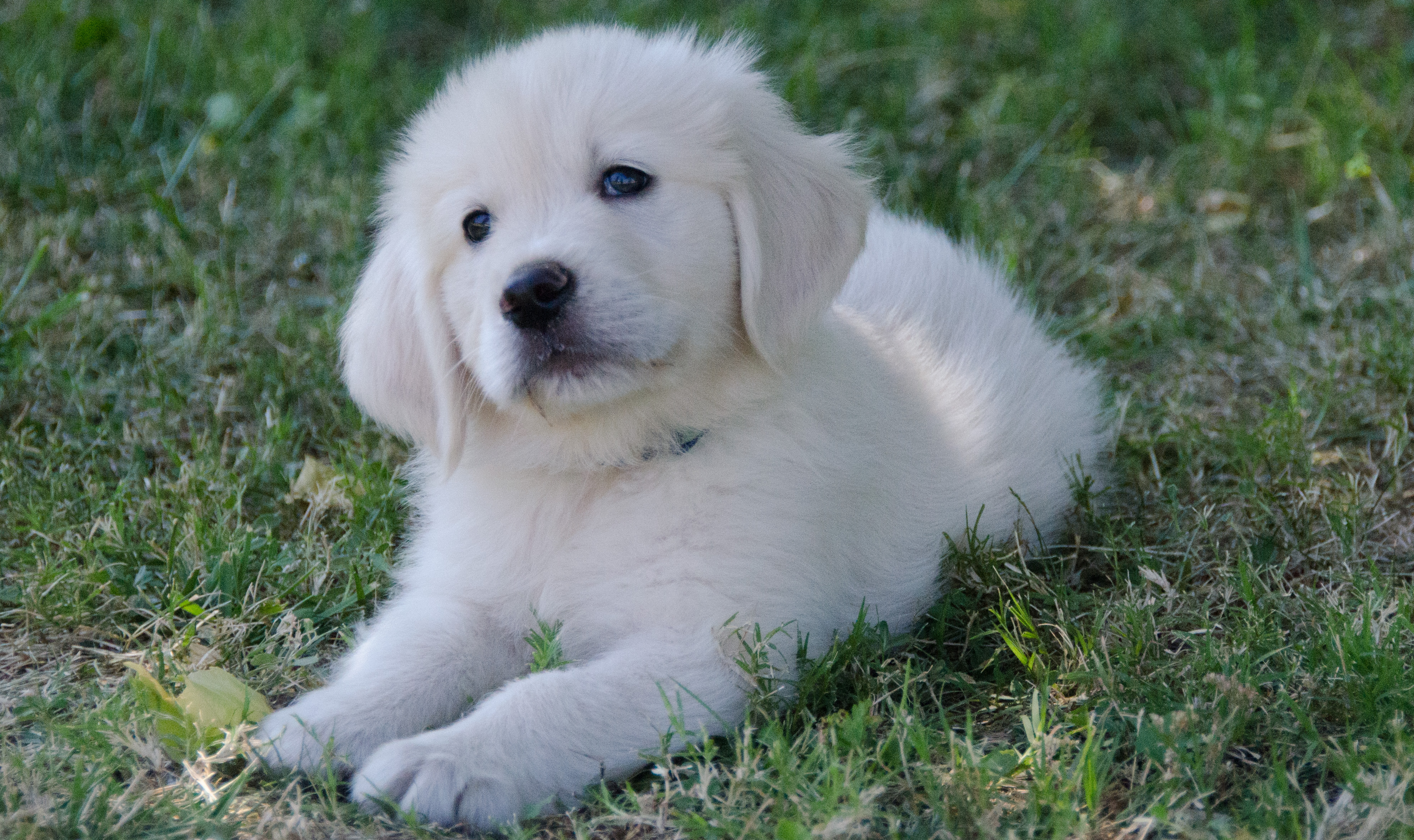 Available Puppies Classic Heritage English Golden Retriever Puppies