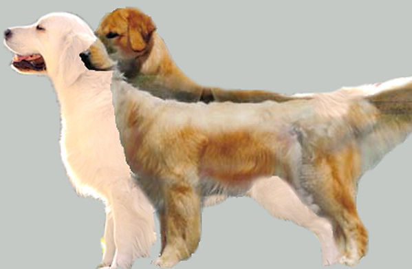 differences american english golden retrievers
