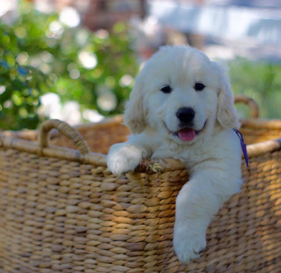 Cheap golden retriever puppies for sale bay area