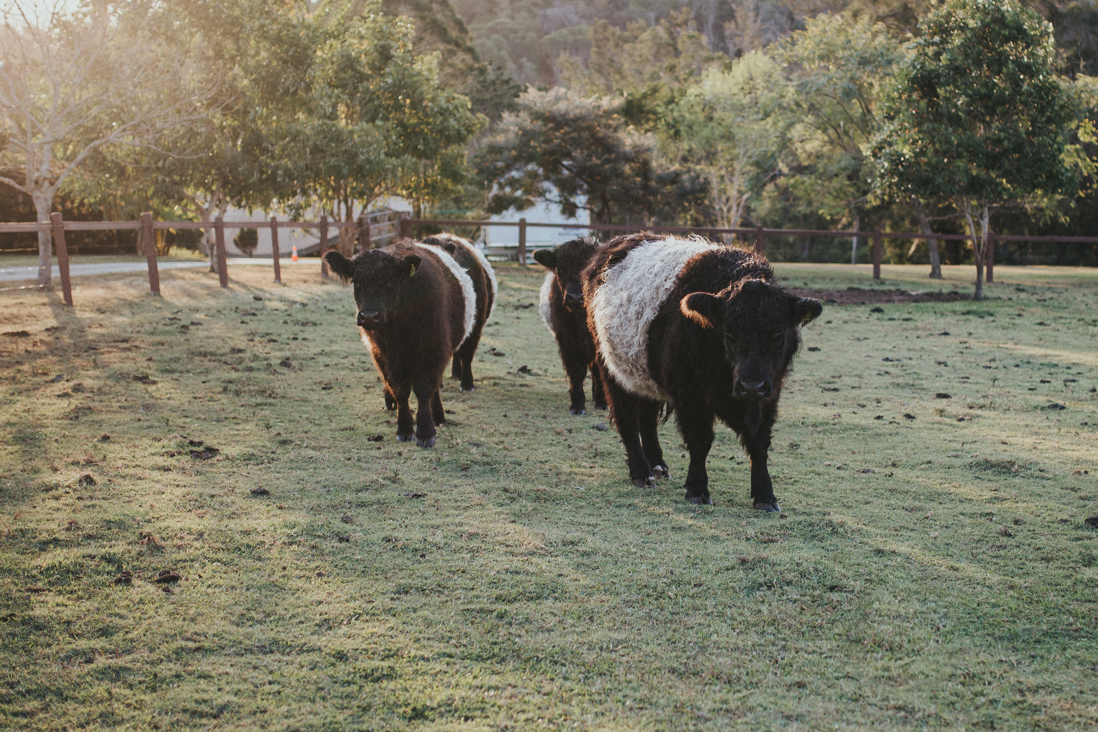 Riverwood's Highland Galloway cows