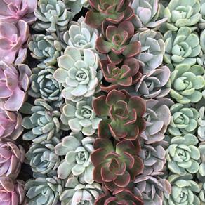 Basic Succulent Care My Our Arrangements