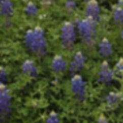 Texas Bluebonnets at SXSW #bluebonnets #