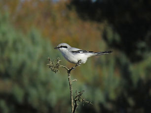 Great Grey Shrike 29102018 1.jpg