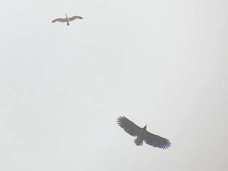 White-tailed Eagle over my garden!