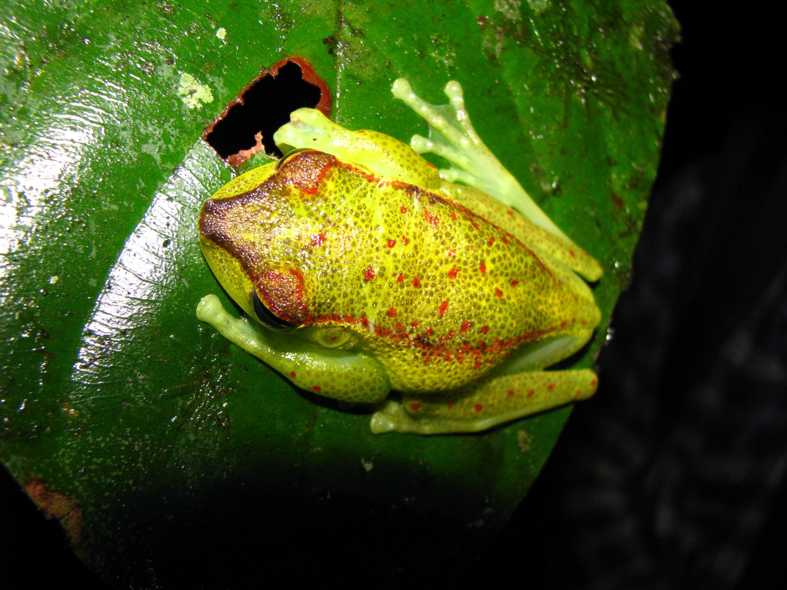 Hypsiboas rubracylus