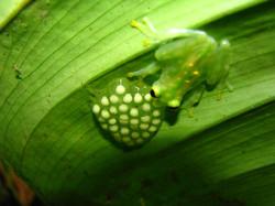 Hyalinobatrachium valerioi