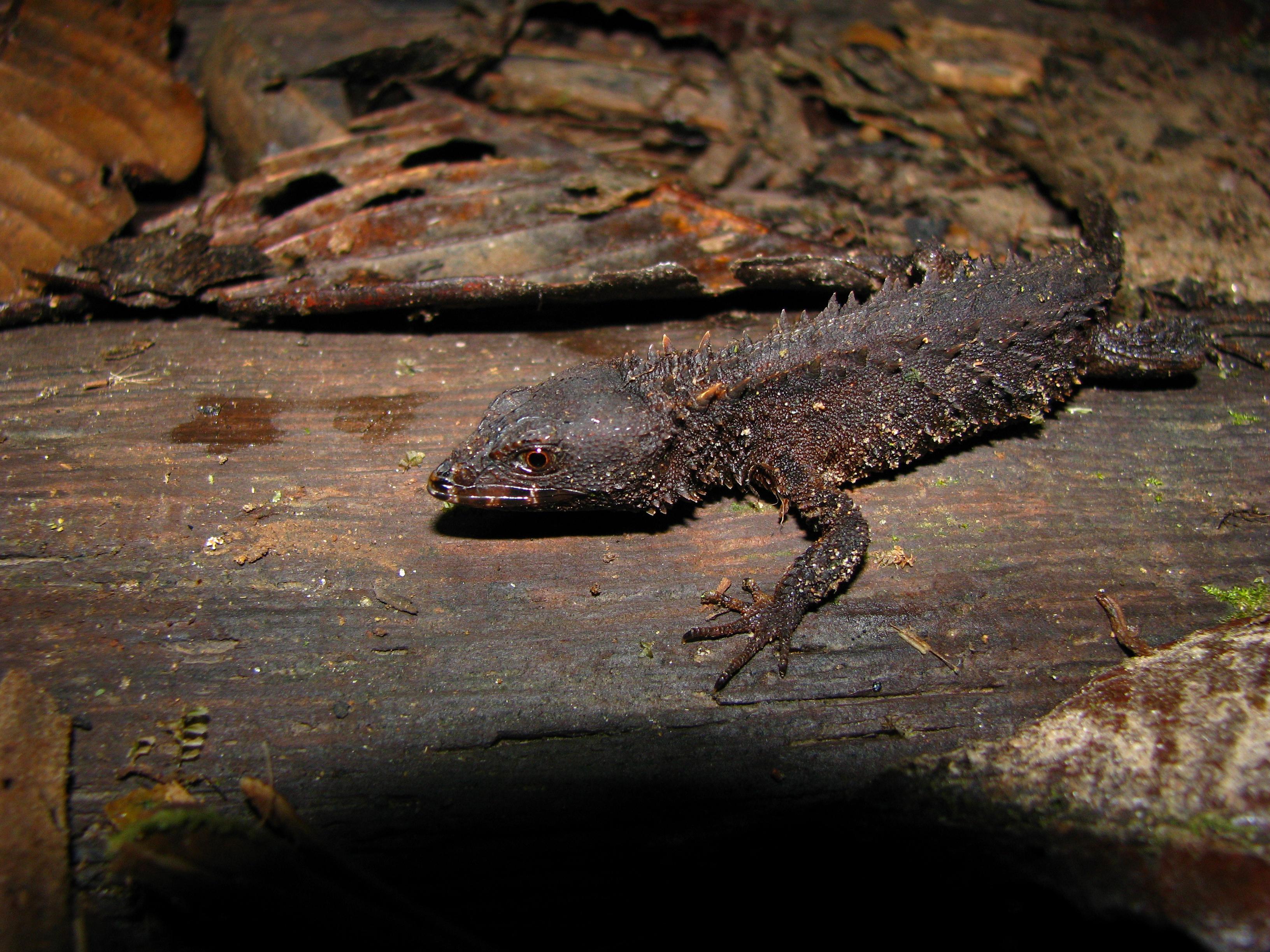 Echinosaura horrida
