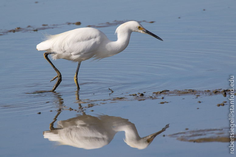 snowy egret - Bob Siegel.jpg