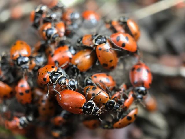 lady beetles.JPG