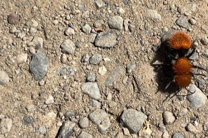 Pacific velvet ant