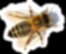 detail of bee or honeybee in Latin Apis