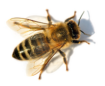 detail of bee or honeybee in Latin Apis