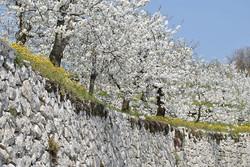 Marogne e ciliegi in fiore