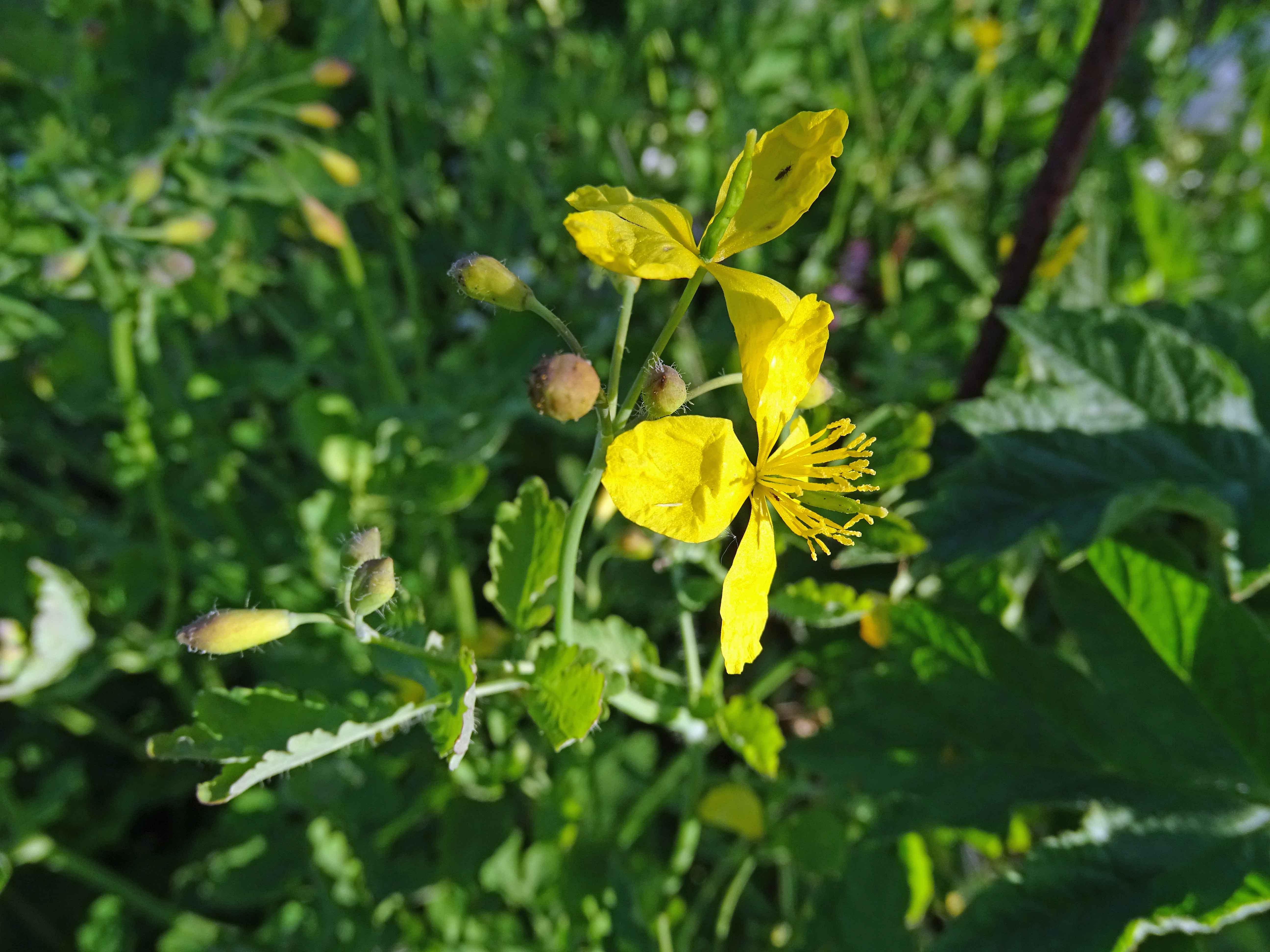 Fleur à 4 pétales jaunes