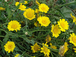 Chrysanthème des moissons