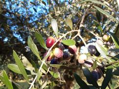 Olivi.jpg