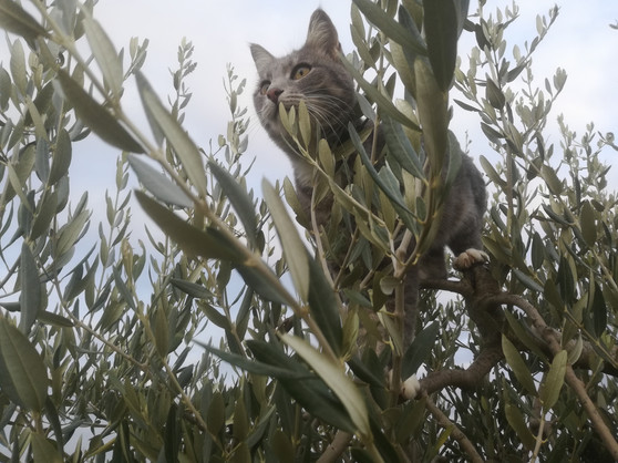 Gandalfina tra le olive.jpg