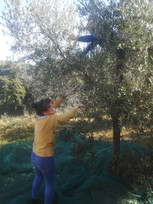 Raccolta olive 2019.jpg