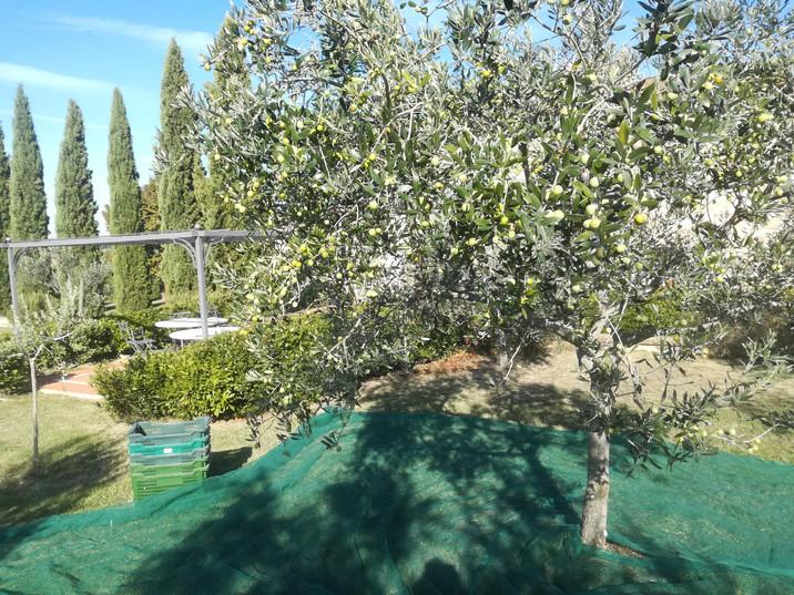 Raccolta delle olive 2019.jpg